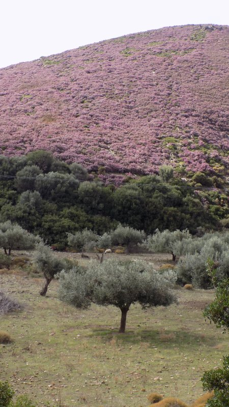 Autumn landscape in Skyros : hills with briars in bloom