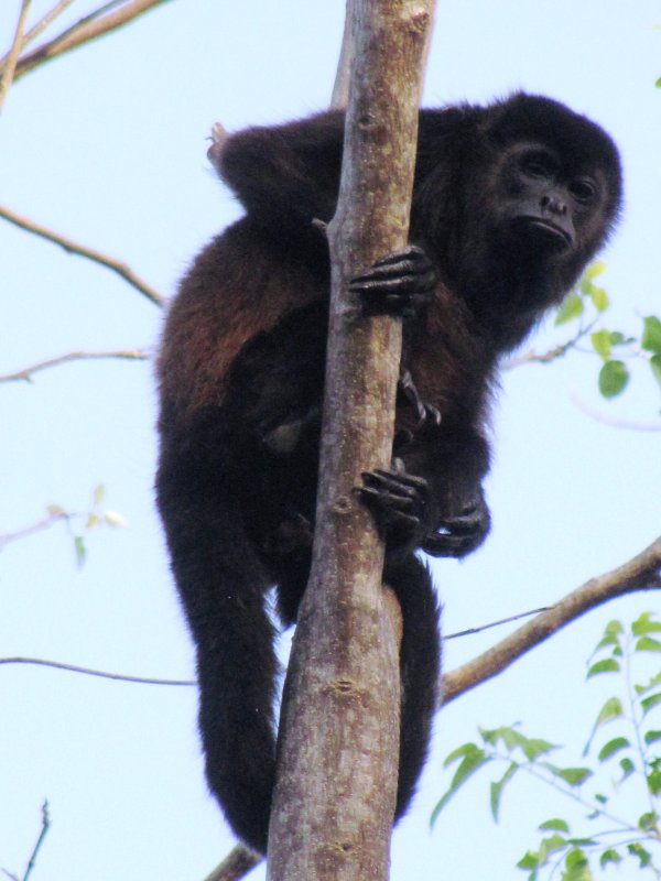 Howler monkey Ometepe , NOT Food dish Mom Rosario