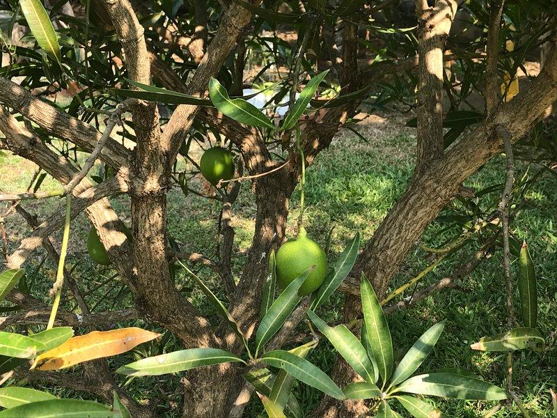 arbres fruitiers autour ALLL