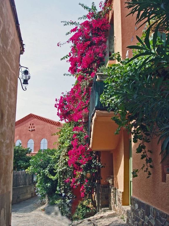 The flowery streets by bougainvillea
