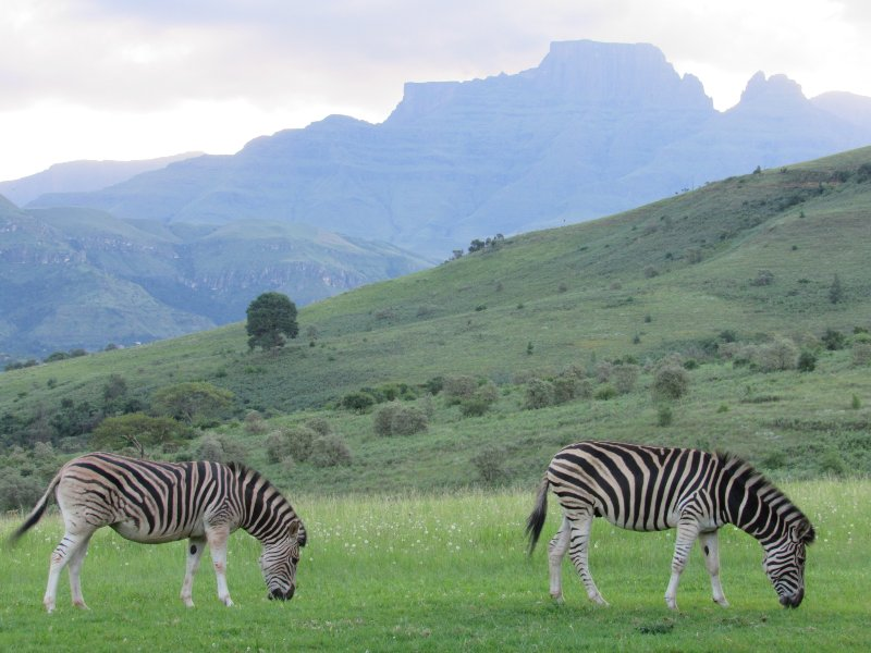 Two of our resident zebra