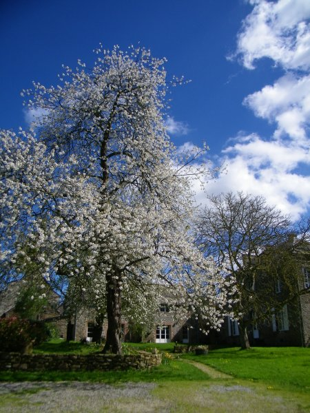 Our cherry tree in full bloom