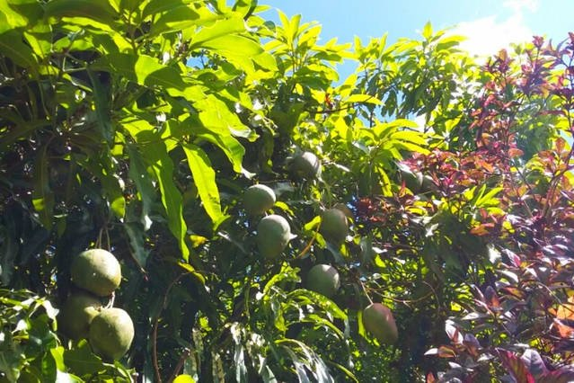Mangoes in the back garden. Feel free to pick as many as you can eat.