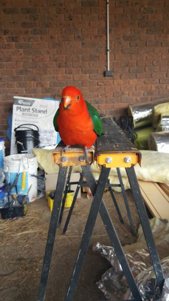 A propriedade é abençoado com uma grande variedade de pássaros nativos, como este papagaio.
