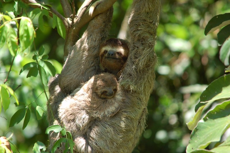 Guest took this photo of sloths from our pool deck.