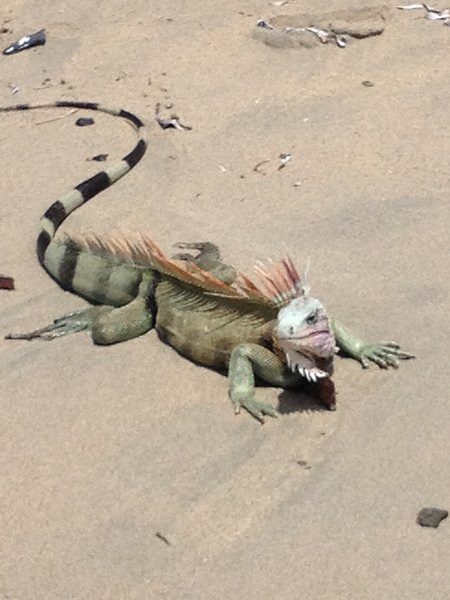 If you are lucky, you might see an iguana...