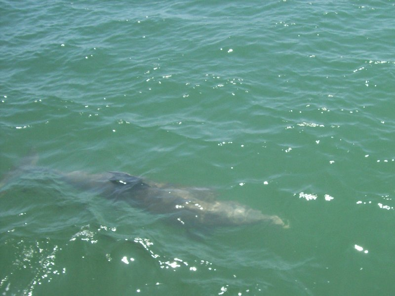 Dolphin in Indian River Lagoon