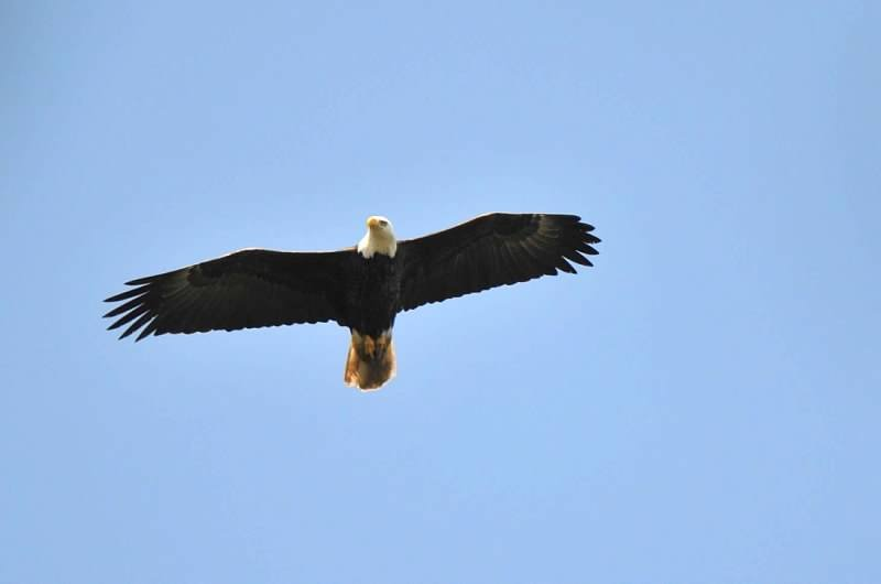 Eagles are common visitors in our backyard