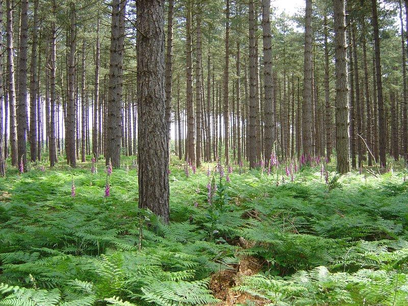Bloeiende Foxgloves in het bos.