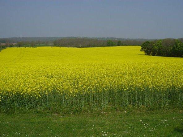 Vista sobre campo aberto com colza em flor