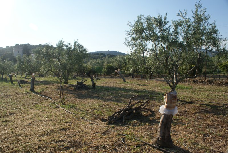 Olive tress, luxury accommodation in combination with agrotourism