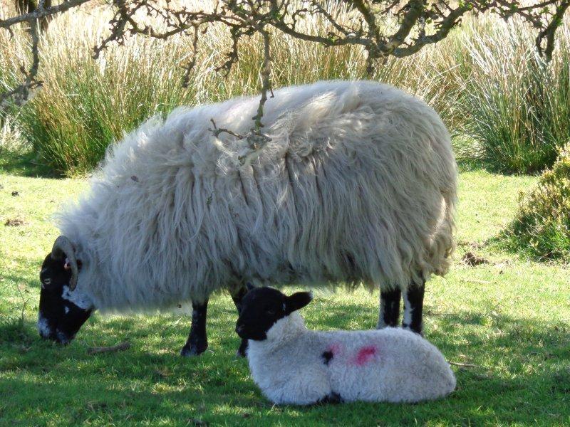 Quantock Spring Lamb