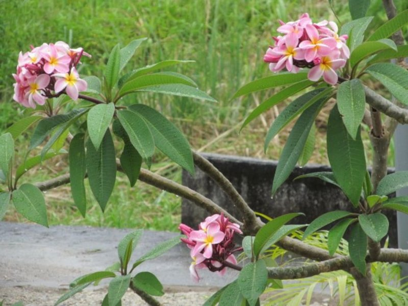 Plumeria are just one of the many tropical fauna on the property.
