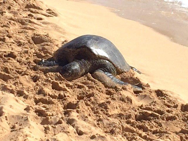 Un visiteur de l'océan à Poipu Beach Park