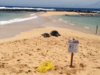 Monk scelle hawaïenne prendre le soleil sur la plage au parc poipu Beach - une promenade de 5 minutes!