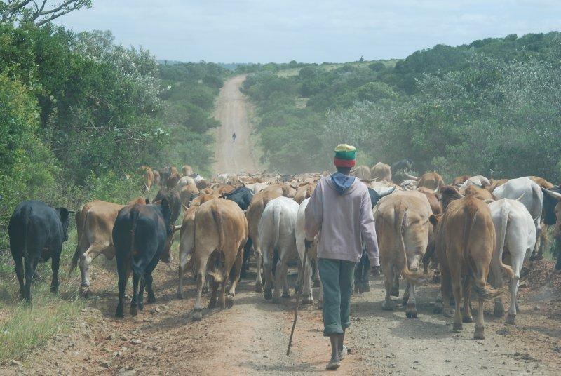 Mover el ganado a un nuevo campamento a lo largo del camino de la granja