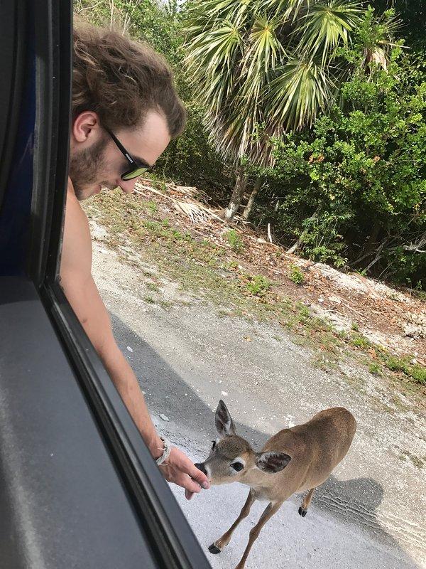 Ciervos clave en Big Pine Key