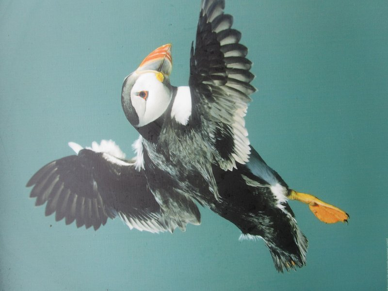 Puffins at South Stack