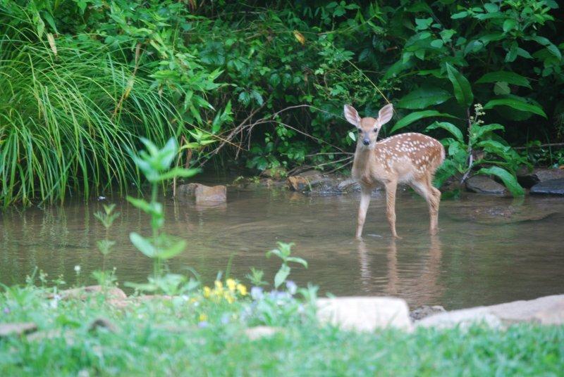 Fawn enjoys Rose Manor's  creek