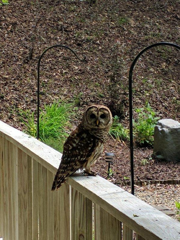 Olive the Owl at the Creekside cabin in Gatlinburg,TN