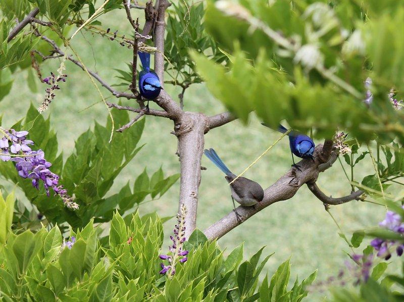 Fairy wrens in wisteria off back verandah