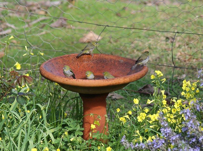 Birds in birdbath