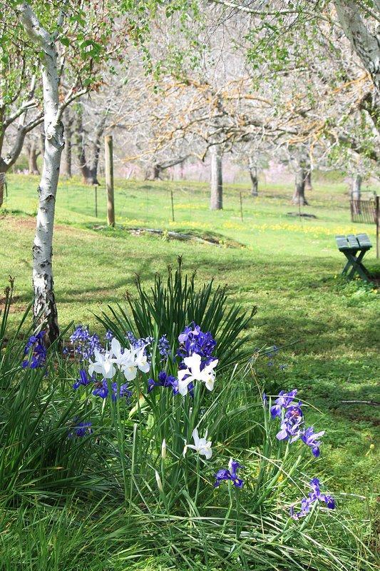 Cottage garden - irises