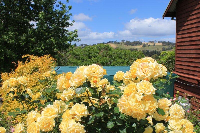 Cottage garden rose