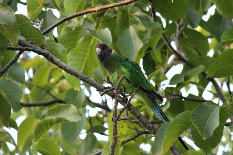 Ringneck or 28 parrot
