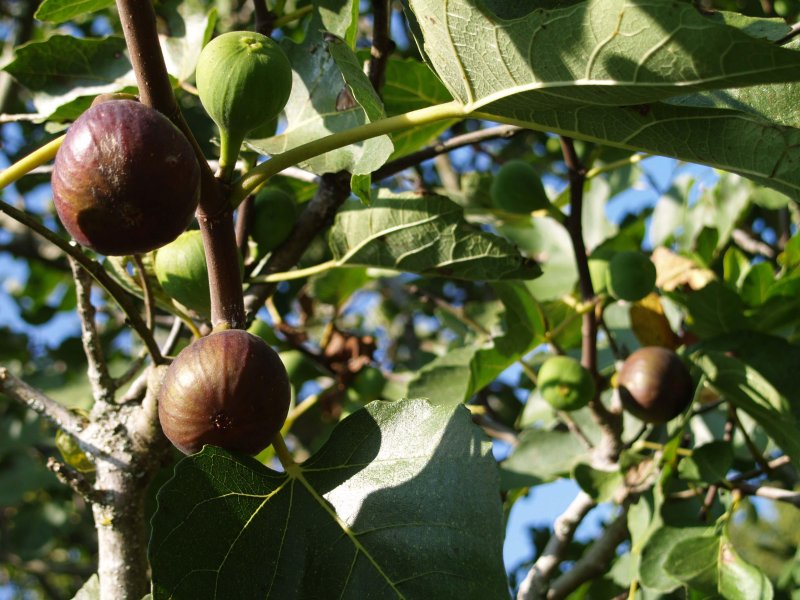 Figs to pick in your garden in September