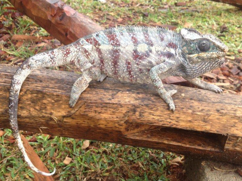 Chameleon in the park