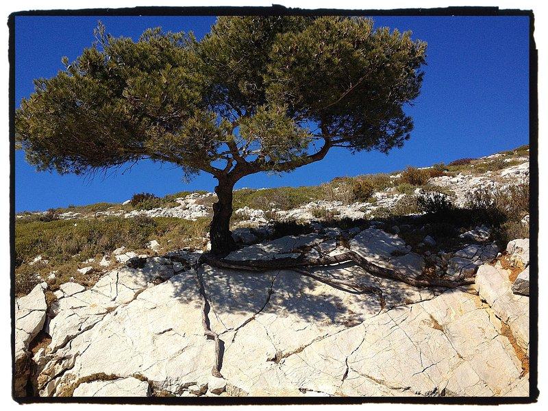 arbre courageux sur le massif des calanques