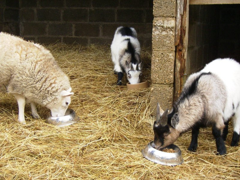 Help feed the goats and sheep