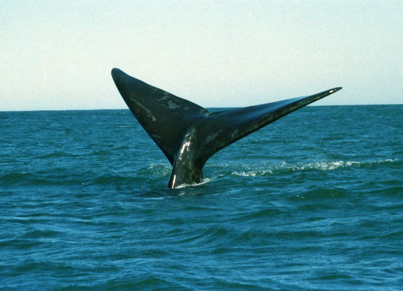 Enjoy whale watching at Hermanus seeing the Southern Right Whale