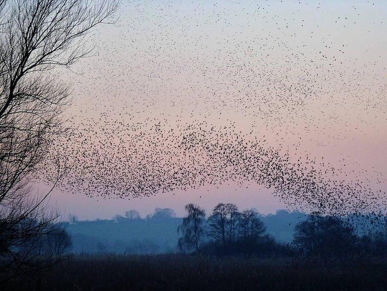 murmuraciones Starling