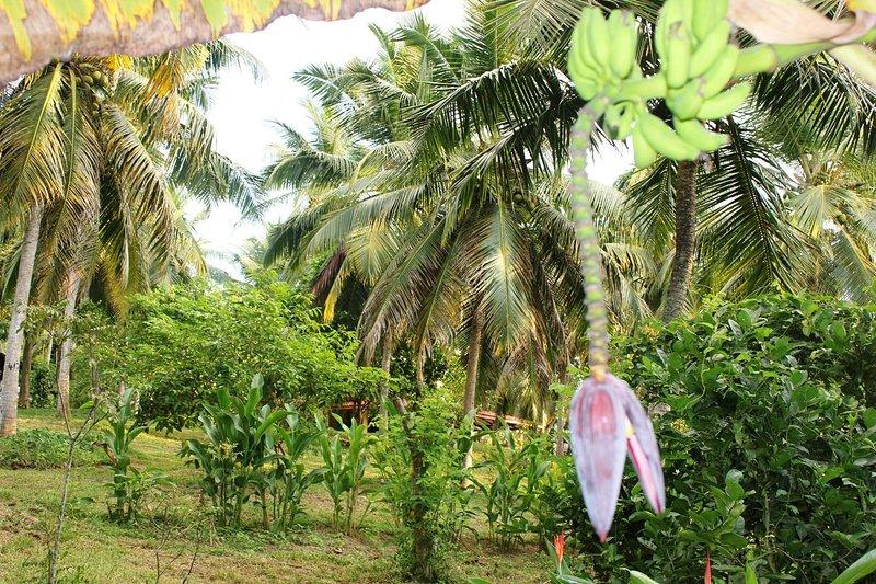 plantering av kanel, te, kokos och fruktträd.