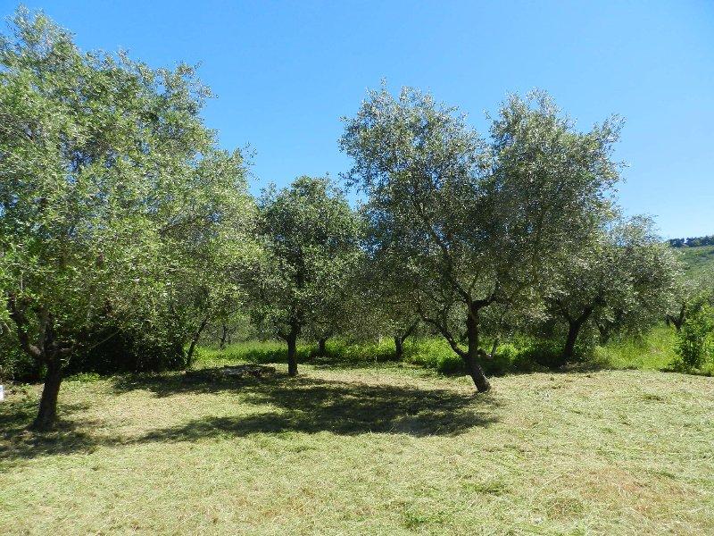 jardín privado, olivos
