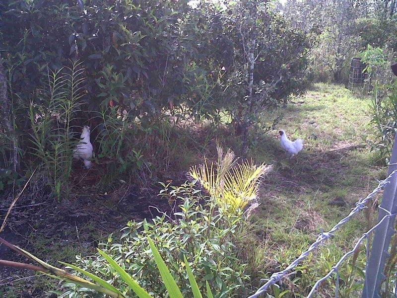 Les poulets à côté. Le coq peut vous réveiller le matin je. Ce qui est réel vers le bas environnement familial.
