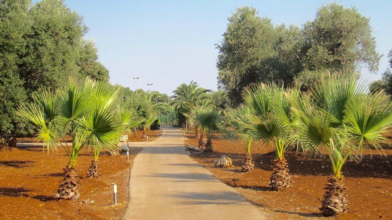 Olive grove with internal road.