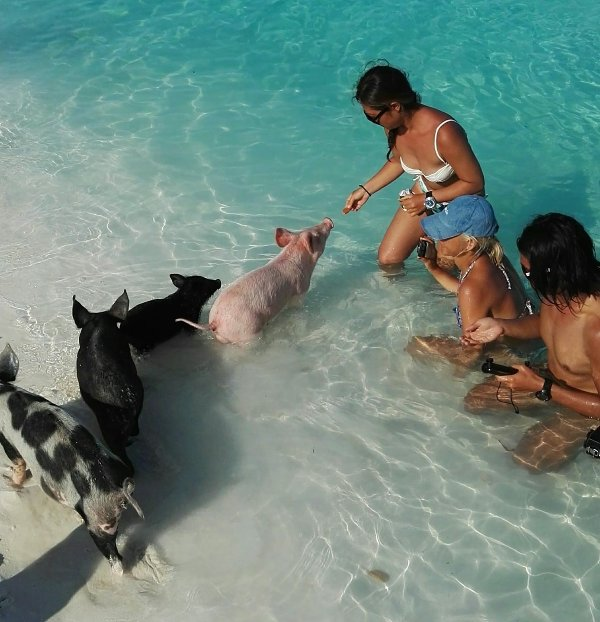 Come swim with the pigs