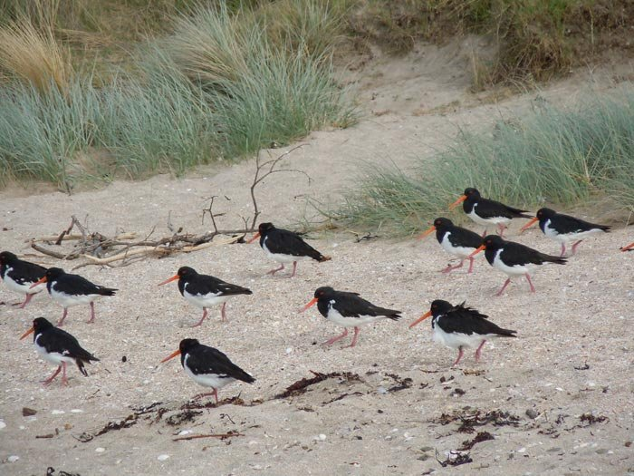 Oyster Catcher at one of the beaches in Shakespear Regional Park