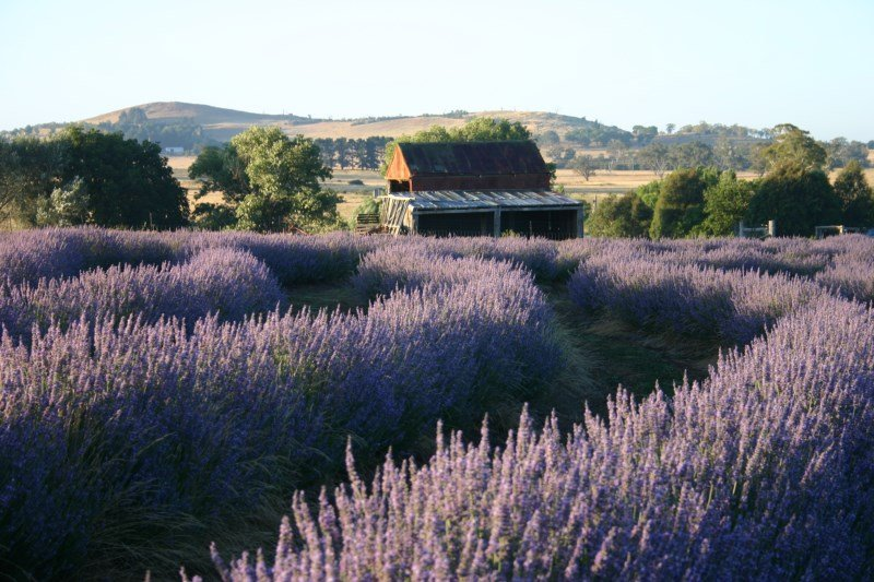 Idyllic getaway to picturesque lavender farm, vacation rental in Carcoar