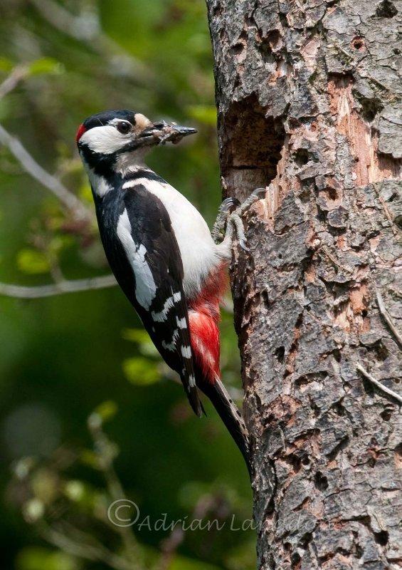 Grand Butterwell à Spotted Woodpecker