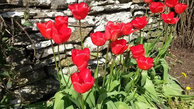 In spring we have a lively display of spring flowers in the garden