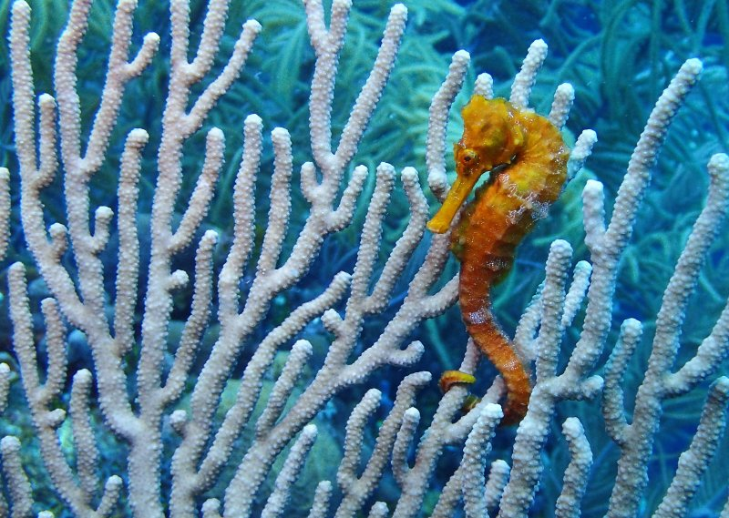 Sea horse spotted while diving at Calvin's Crack