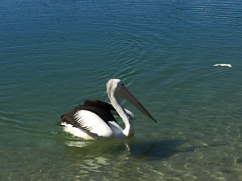 Local Pelican on the lake