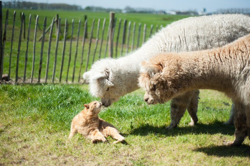 Luxury guesthouse with  Alpacas, Private Entry, near Zwolle, 1 hr from Amsterdam, location de vacances à Kampen