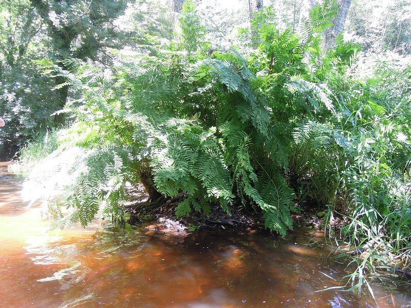 Unusual river ferns abound - they only grow in clean water