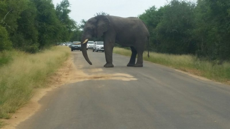 Elephant - Kruger National Park