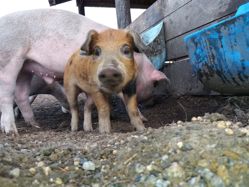truies Linderödsåsen sont nés porcelets en été! porcs « ordinaires » sont également dans la cour.